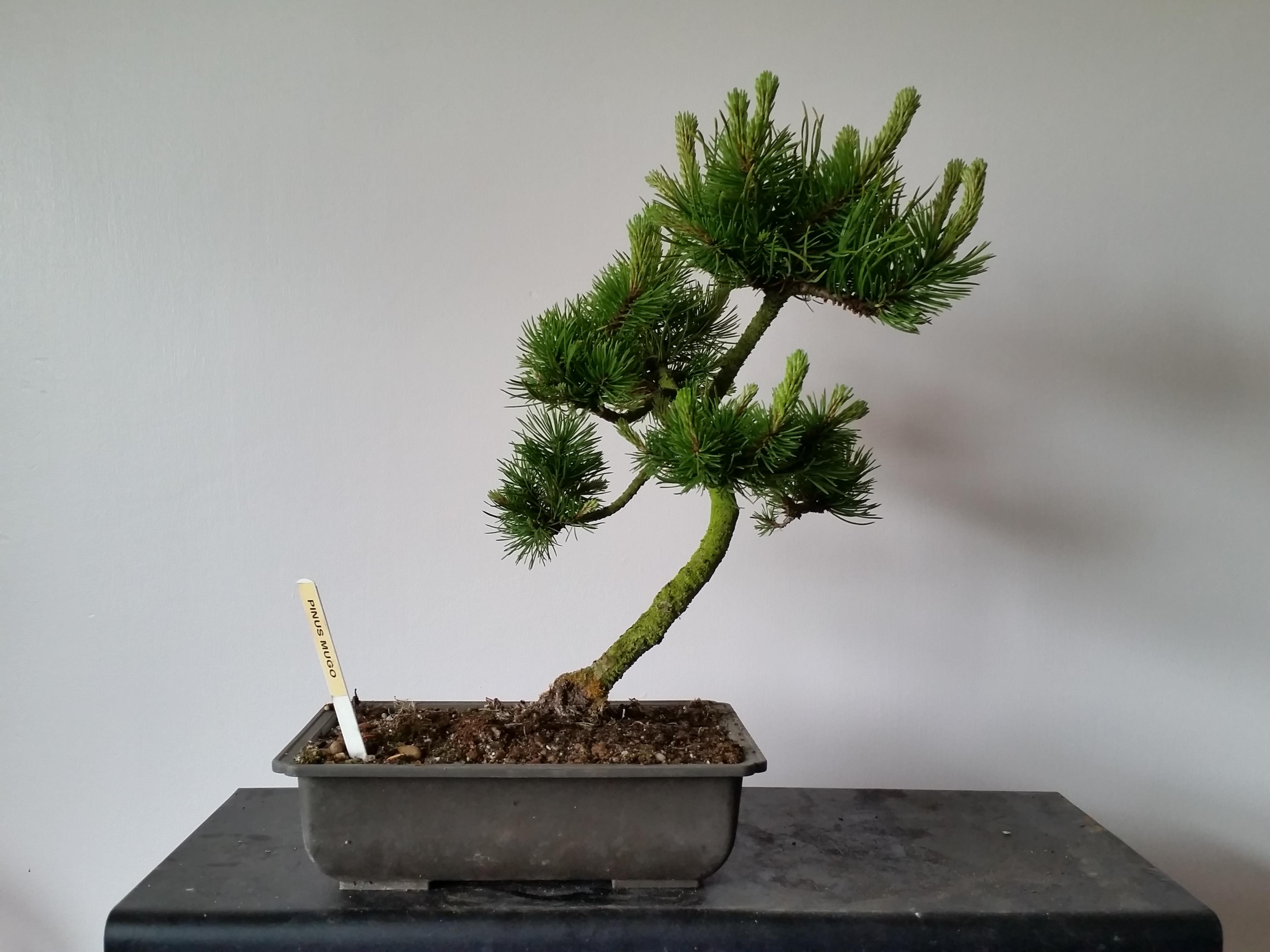 250 00 Pinus Mugo